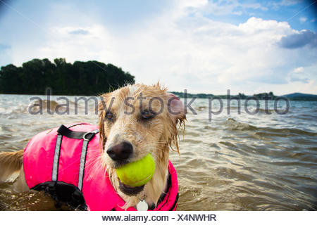 Border collie Dog playing with tennis ball in lake - Stock Photo