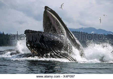 Humpback whale lunge feeding, Iyoukeencove, Chatham Strait, Southeast Alaska - Stock Photo