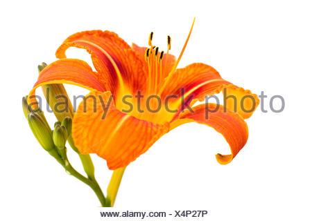Close-up of Orange Lily Flower Isolated on White Baiickground - Stock Photo