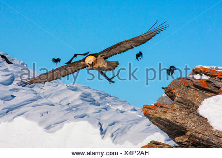Lammergeier, Bearded Vulture (Gypaetus barbatus), bearded vulture in flight with alpine choughs, Switzerland, Valais, Leukerbad - Stock Photo