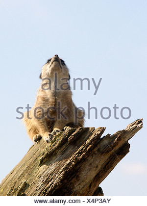 A meercat sitting on top of a tree on the look out, looking upwards. - Stock Photo