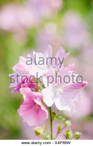 Musk mallow, Malva moschata. - Stock Photo