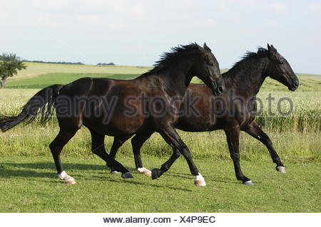 German warmblooded Horse - Stock Photo