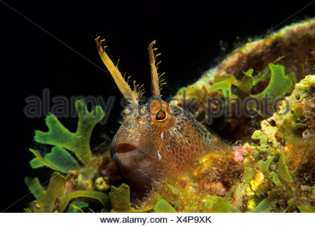 Tentacled blenny (Parablennius tentacularis) looking out of hideaway with algae, Fira, Santorini, Greece, Cyclades, Aegean Sea