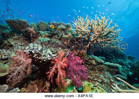 Coral Reef, Wakaya, Lomaiviti, Fiji - Stock Photo