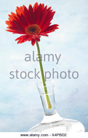 Red Gerbera Daisy In A Vase Stock Photo 73487188 Alamy