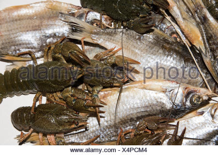 Dry fish and alive crayfish on white background. - Stock Photo