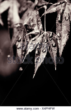 Acer palmatum, Japanese maple leaf with water moisture droplets, Black & white, - Stock Photo