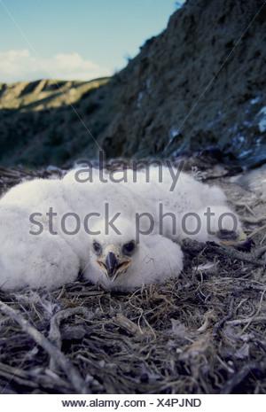 Golden eagle (Aquila chrysaetos) chicks on nest near Leader, Saskatchewan, Canada