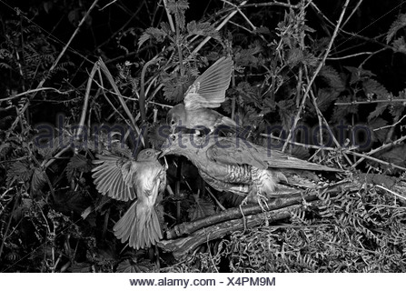 Nightingale attaching a stuffed Cuckoo - Staverton Suffolk. Taken by Eric Hosking in 1948 - Stock Photo