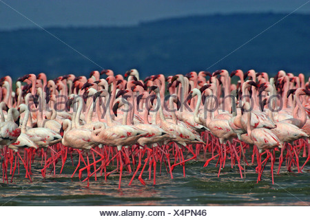 lesser flamingos courtship Phoenicopterus minor - Stock Photo