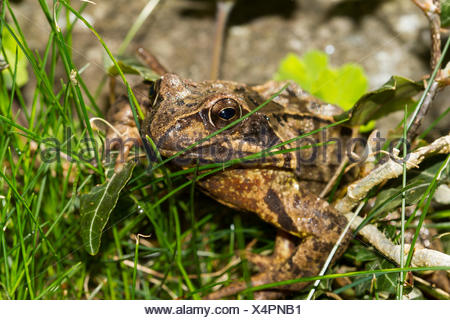 Common frog (Rana temporaria) in between blades of grass, Bavaria, Germany - Stock Photo