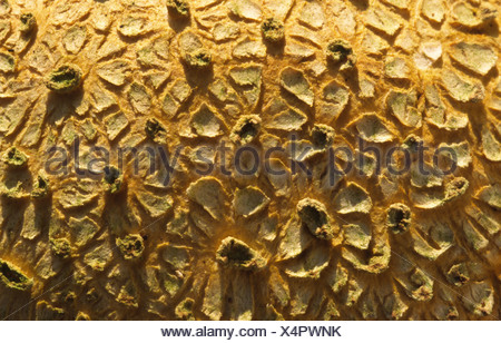 Common earth-ball (Scleroderma citrinum). Close up abstract image of surface texture. - Stock Photo