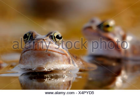 moor frog (Rana arvalis), two frogs sitting in the shallow water of a pond, Germany - Stock Photo
