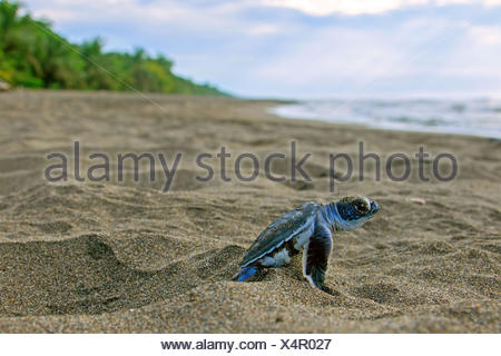Pacific green turtle or green sea turtle (Chelonia mydas), juvenile on way to sea, Caribbean, Costa Rica - Stock Photo