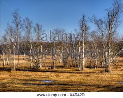 Switzerland, Europe, canton Zurich, trees, birches, Katzensee, moor, wet, nature - Stock Photo