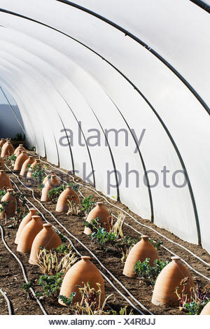 A polytunnel with rows of terracotta cloches protecting plants. - Stock Photo