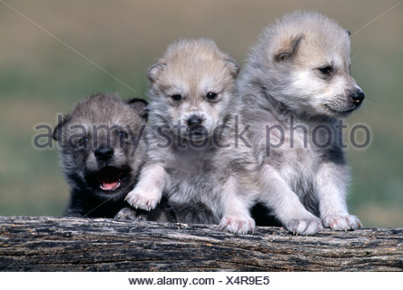 Three grey wolf puppies standing together on a fallen log Canis lupus - Stock Photo
