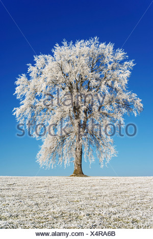 Hoarfrosted pedunculate oak (Quercus robur) - Stock Photo