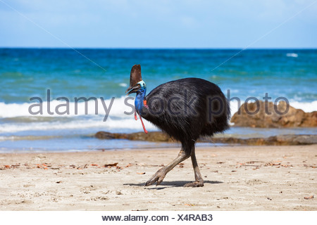 Southern Cassowary (Casuarius Casuarius), female on a beach, Moresby Range, Queensland, Australia - Stock Photo