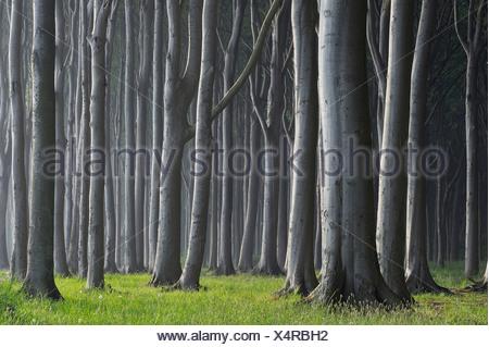 Mecklenburg-Western Pomerania, Beech tree forest - Stock Photo