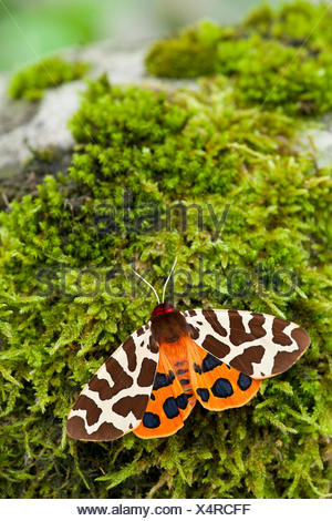 Garden tiger moth (Arctia caja), on moss, Germany, Rhineland-Palatinate - Stock Photo