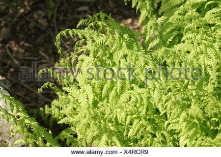 Eastern marsh fern - Stock Photo