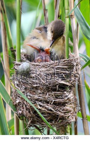 Eurasian cuckoo (Cuculus canorus), freshly hatched chick in the nest of a reed warbler, rolling the other eggs from the warbler out of the nest by pushing them with its back over the edge, Germany - Stock Photo