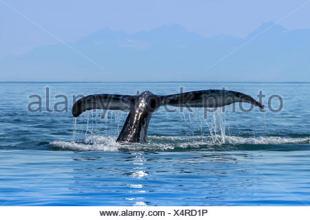A Humpback Whale (Megaptera novaeangliae) lifts it's fluke as it returns to the depths to feed in the calm waters of the Inside Passage, near Juneau - Stock Photo