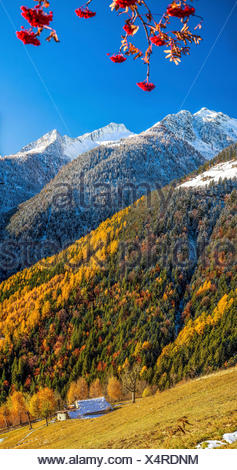 The vibrant palette of colors in the autumnal landscape of the Albaredo Valley of Bitto: the rich oranges and reds of the trees contrasting with the whites of the snow-capped peaks - Orobie Alps Valtellina Lombardy Italy Europe - Stock Photo