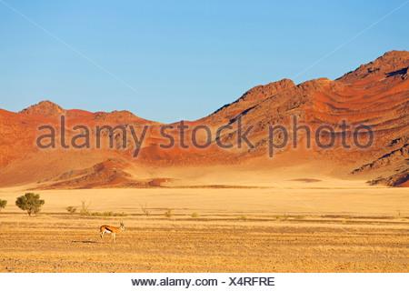 springbuck, springbok (Antidorcas marsupialis), in desert landscape, Namibia, Namib Naukluft National Park, Hardap, Sesriem - Stock Photo