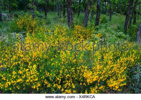 Pyrenean Oak forest and Common Broom, Sierra de Guadarrama, Madrid, Spain, Europe. - Stock Photo