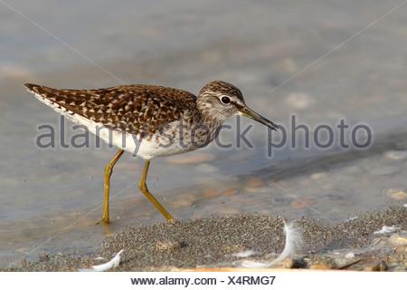 Wood Sandpiper (Tringa glareola) looking for food in shallow water, Lake Neusiedl, Burgenland, Austria, Europe - Stock Photo
