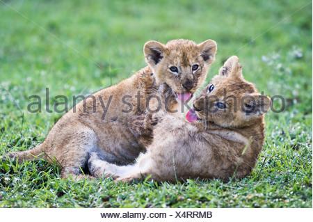 African Lion cubs playing, around 10 weeks old, Big Marsh, Ngorongoro, Tanzania - Stock Photo