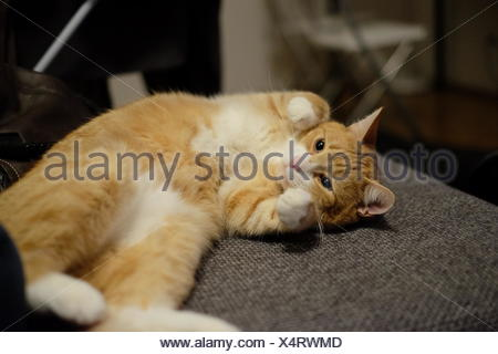 Close-Up Of Cute Ginger Cat On Sofa - Stock Photo