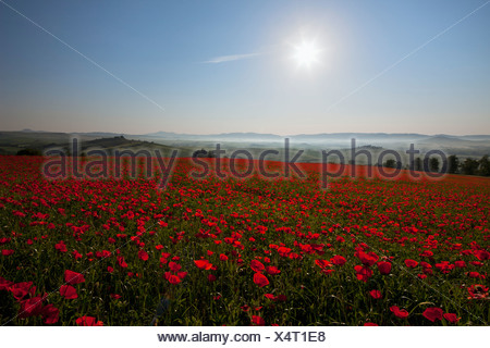 Italy, Tuscany, Crete, View of red poppy field at sunrise - Stock Photo