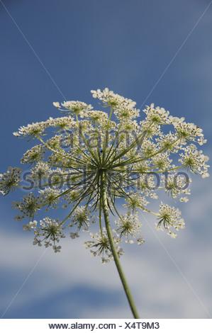 Wild Carot Flower - Stock Photo