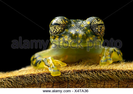 White-spotted Cochran Frog (Sachatamia albamoculata) sitting on hairy leaf, Choco rainforest, Canande River Nature Reserve - Stock Photo