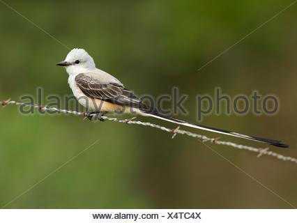 Scissor-tailed Flycatcher - Tyrannus forficatus - Stock Photo