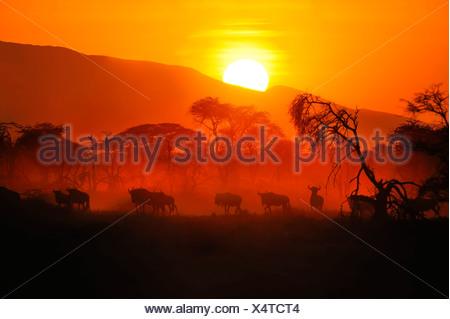 Migrating herd of Blue Wildebeest (Connochaetes taurinus) at sunrise, Serengeti, Tanzania - Stock Photo