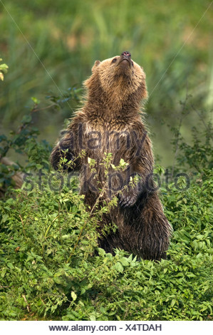 European Brown bear (Ursus arctos) - Stock Photo