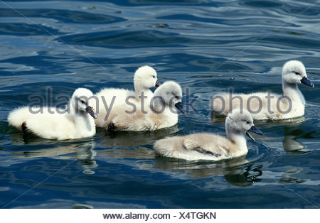 Mute Swan, cygnus olor, Chicks in Water - Stock Photo