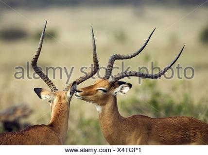 zoology / animals, mammal / mammalian, Bovidae, Impala (Aepyceros melampus), two antelopes, detail: horns, Masai Mara Reserve, Kenya, distribution: Africa, Additional-Rights-Clearance-Info-Not-Available - Stock Photo
