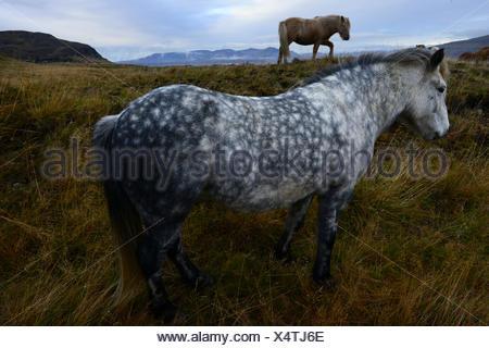 Two Icelandic Horses, Equus Ferus Caballus, on grassy field. - Stock Photo