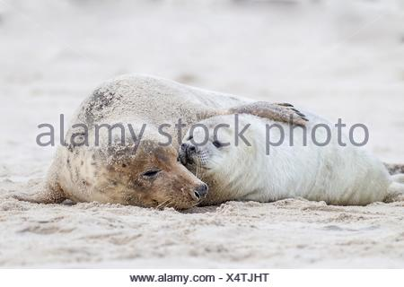 grey seals - Stock Photo