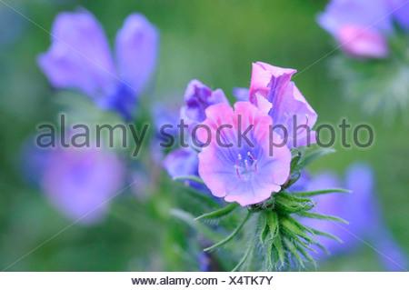 Echium plantagineum Viper's bugloss Pink flowers. - Stock Photo