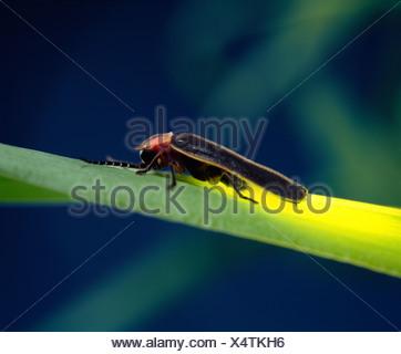 LIGHTNING BUG, FIREFLY OR COMMON EASTERN FIREFLY (PHOTINUS PYRALIS) ADULT ON GRASS; BIOLUMINESCENCE; BEETLE - Stock Photo