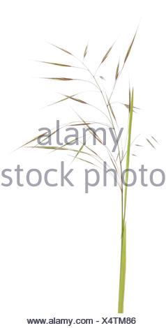 Wild Oat (Avena fatua) on white background - Stock Photo