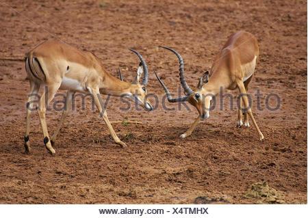 Impala, aepyceros melampus, Males fighting, Masai Mara Park in Kenya - Stock Photo