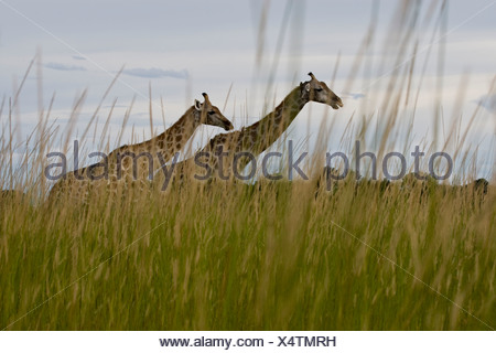 Two giraffes walking through tall grass and bushes - Stock Photo